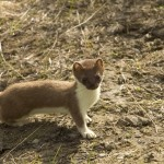 short-tailed-weasel-86619_640