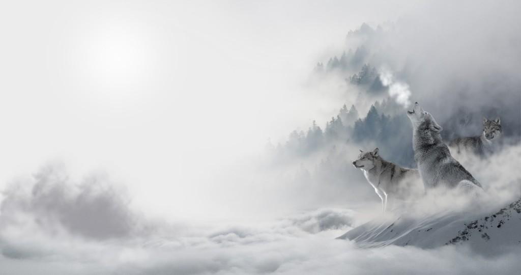 wolf-1351940_1280