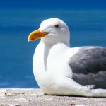 seagull-205528_1280