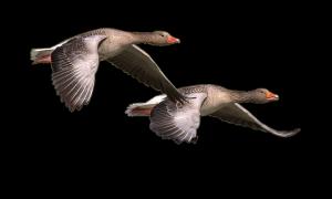 wild-goose-1643084_1280